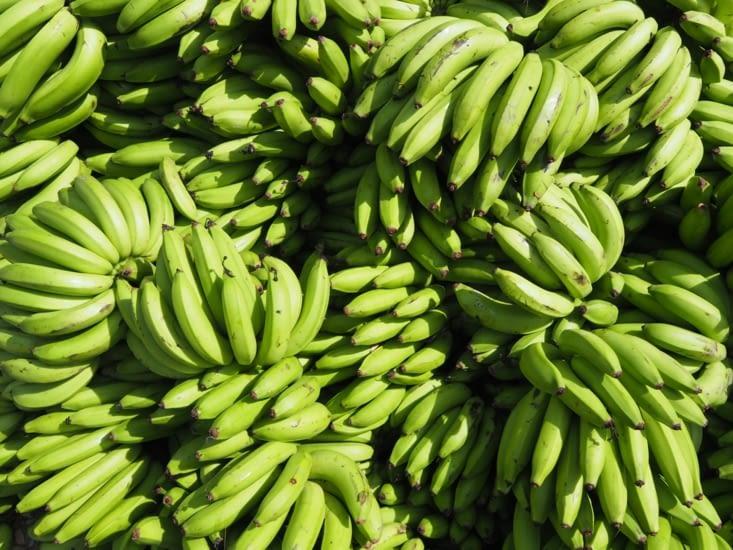 Des kilos de bananes cultivées dans la jungle