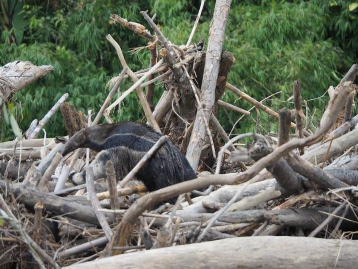 Le fourmilier et son corps imposant qui sort de l'eau