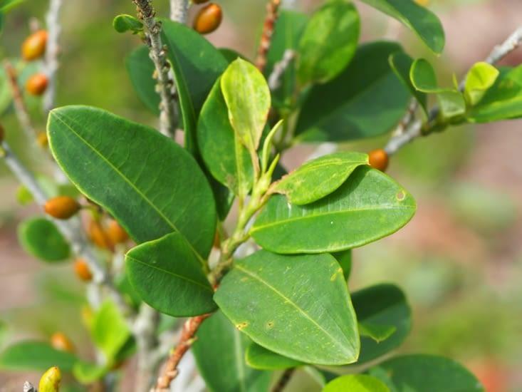 Les fameuses feuilles de coca