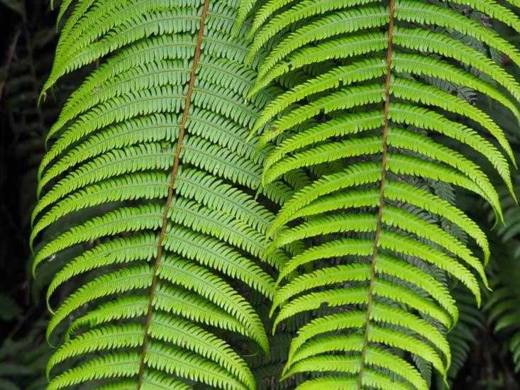 Les fougères de la cloud forest du parc Manu