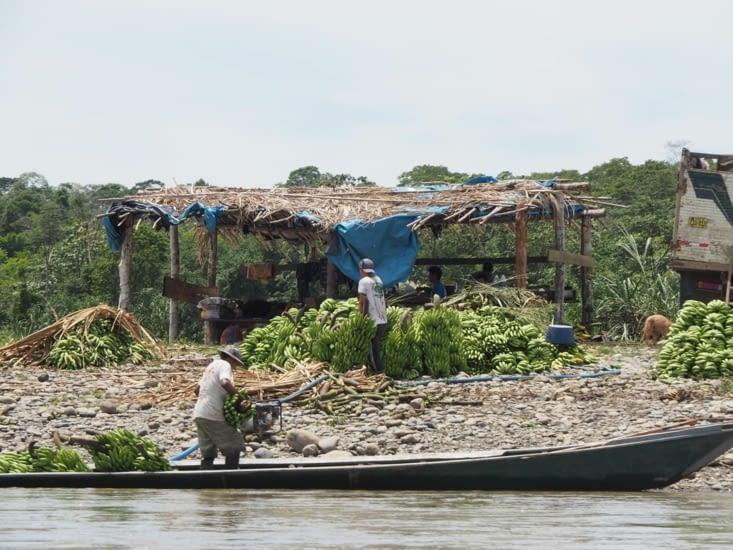 Les producteurs de bananes du Manu