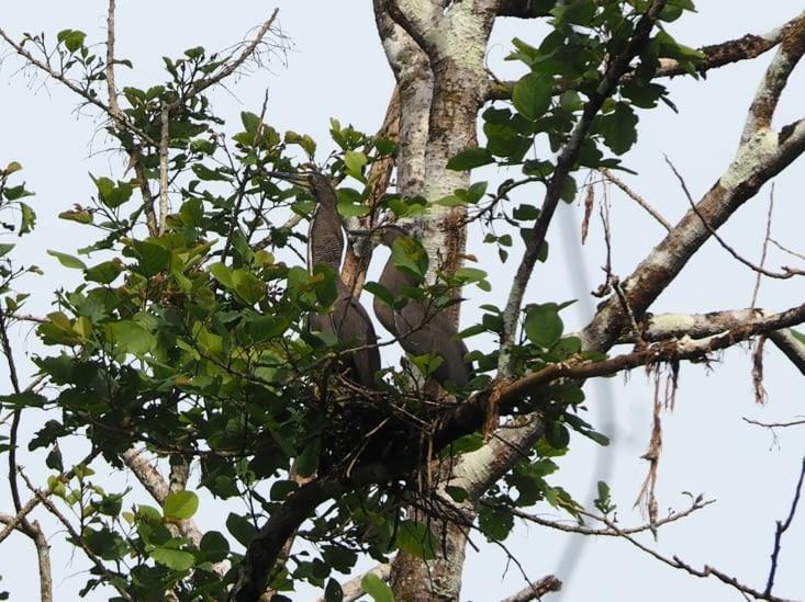 Un couple de hérons protège son nid d'une attaque de faucons