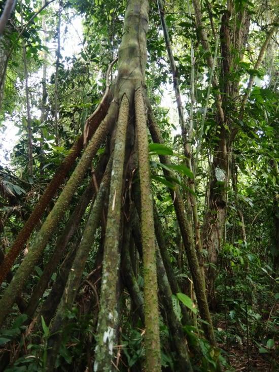 Un arbre marcheur