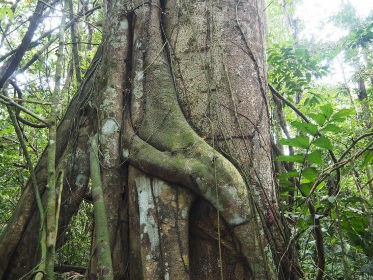 Un arbre étrangleur