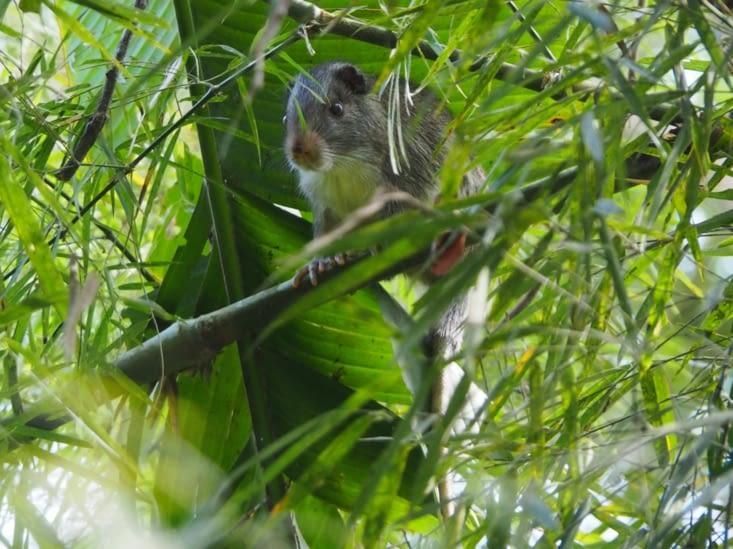 Un bamboo rat - trop mignon