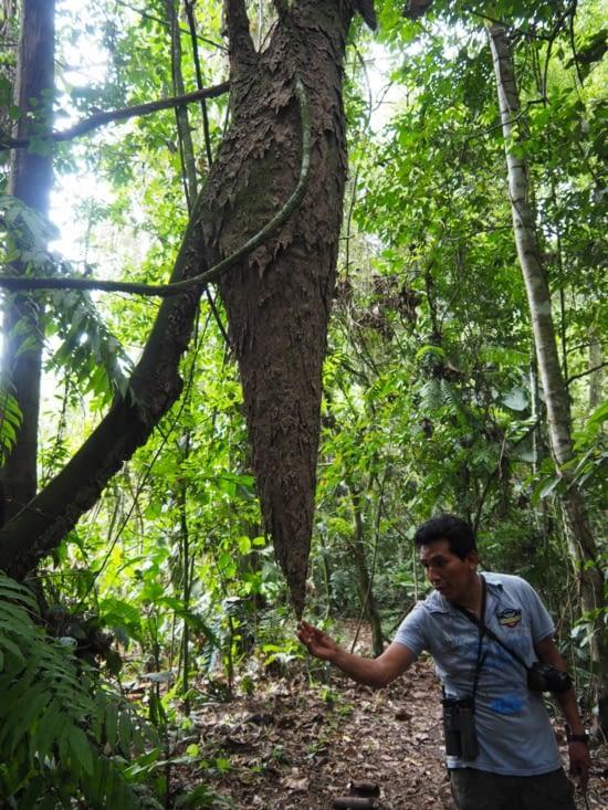Un immense nid de termites dans le parc Manu