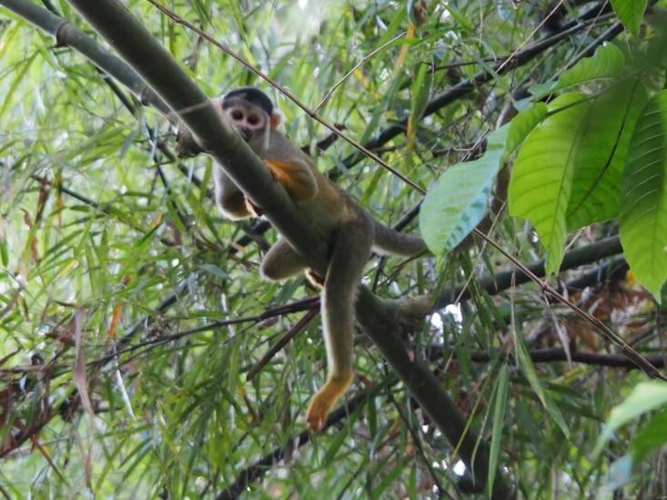 Un singe nous regarder passer, tranquillement, dans le parc Manu