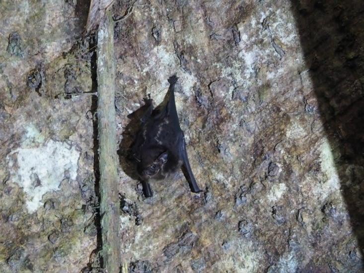 Une chauve-souris au creux de l'arbre sacré