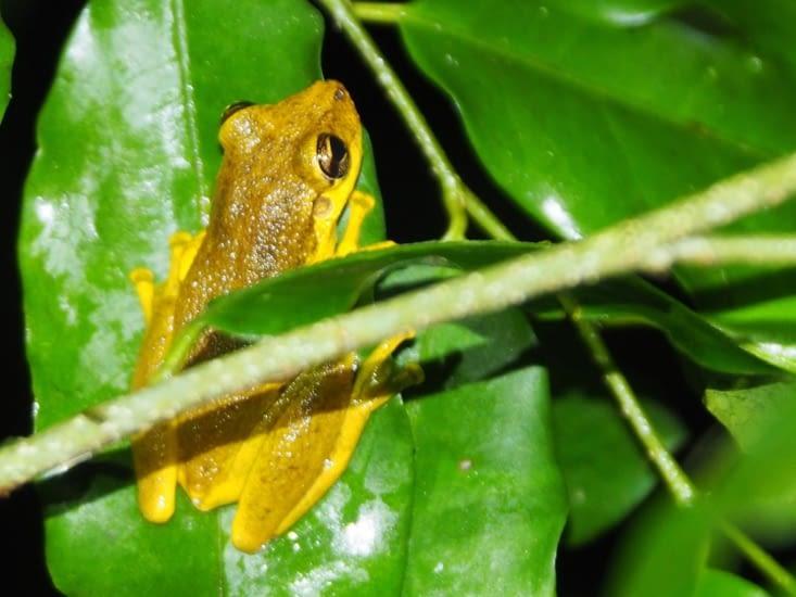 Une petite grenouille jaune