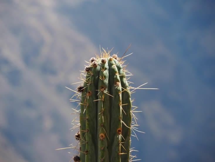 Cactus dans la descente du Canyon del Colca