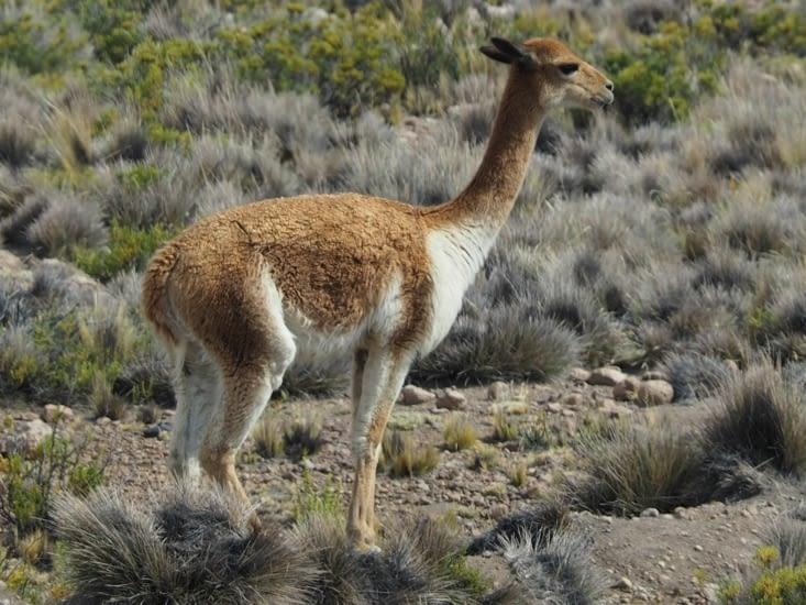 Une vigogne croisée sur le chemin du retour pour Arequipa