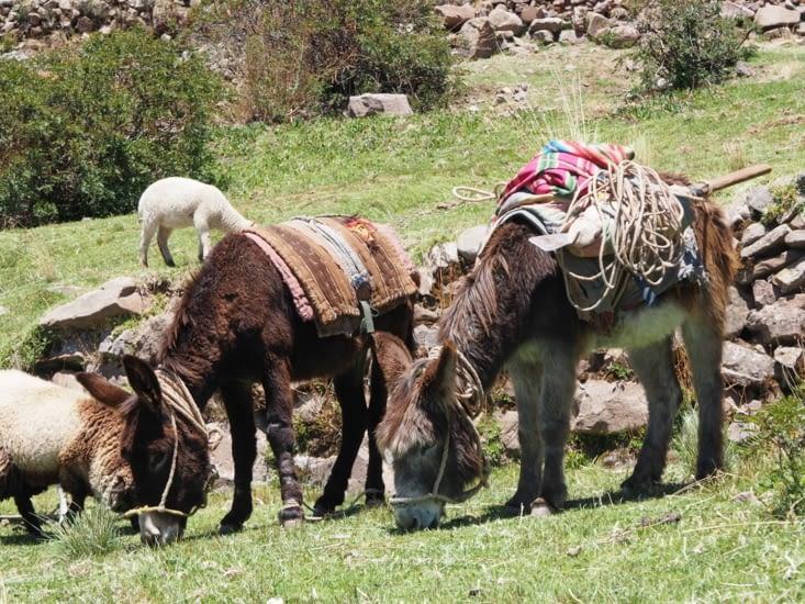 Pause repas pour les ânes dans la baie de Paramis