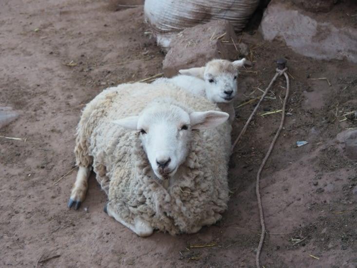 Un mouton et son agneau dorment dans la cours