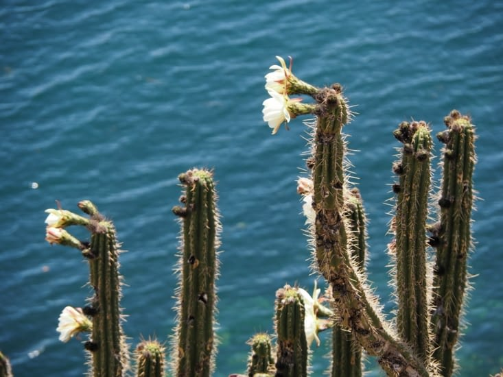 La floraison des cactus annonce les plantations à venir