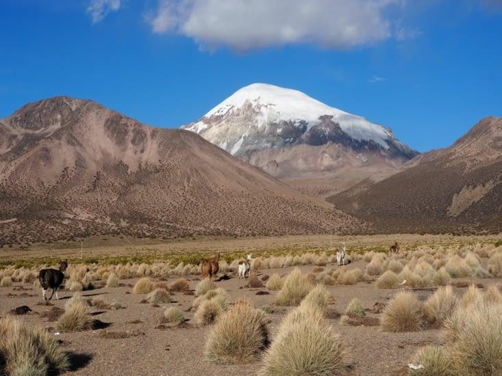 Des lamas devant le mont Sajama, qui culmine à plus de 6500m d'altitude