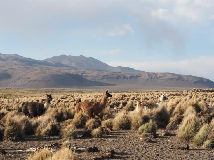 Des lamas se promènent à la sortie de la ville de Sajama