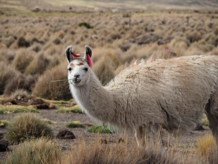 Un lama aux portes de la ville de Sajama