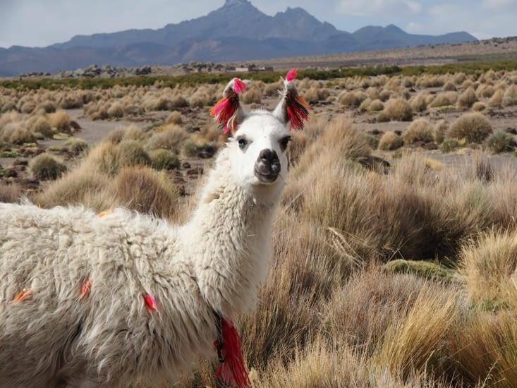 Un lama curieux nous regarde à la sortie de Sajama