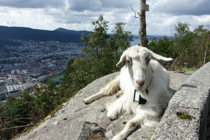 Une chèvre rencontrée sur les hauteurs de Bergen