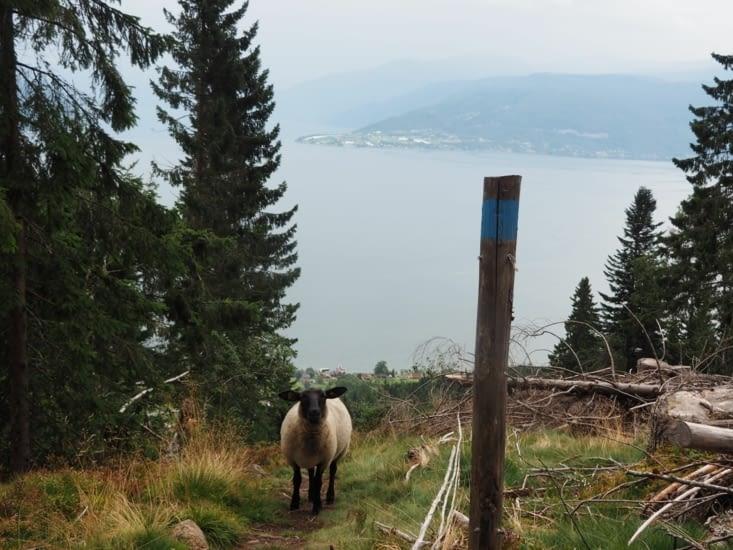 Des moutons rencontrés au dessus de Balestrand