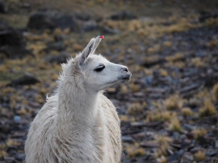 Un lama autour de notre campement