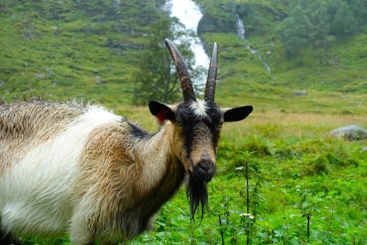 Une pause à la ferme ou nous sommes accueillis par les chèvres