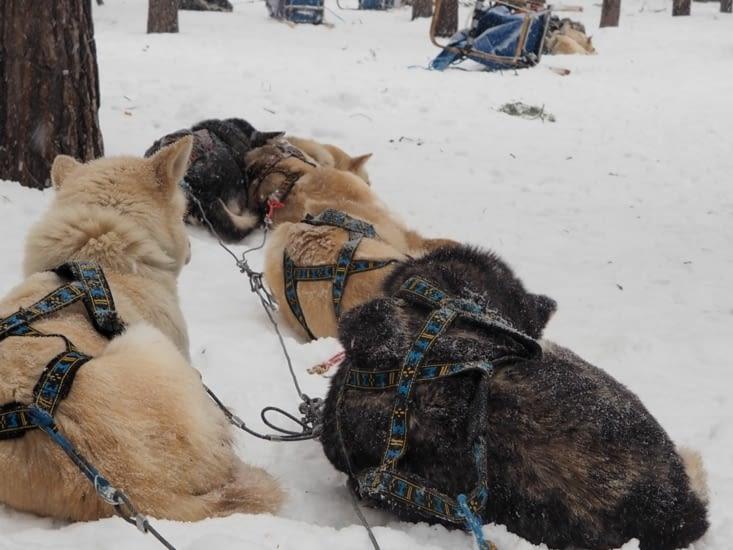 Les chiens se reposent pendant le repas