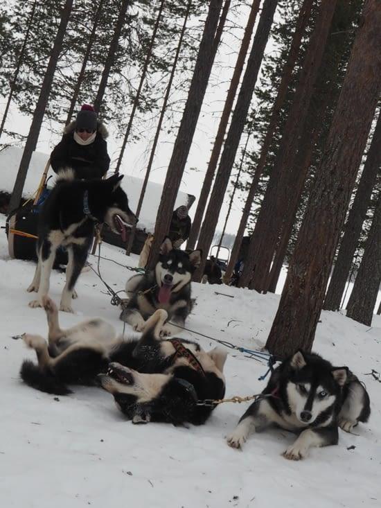 Les chiens se roulent et savourent la pause