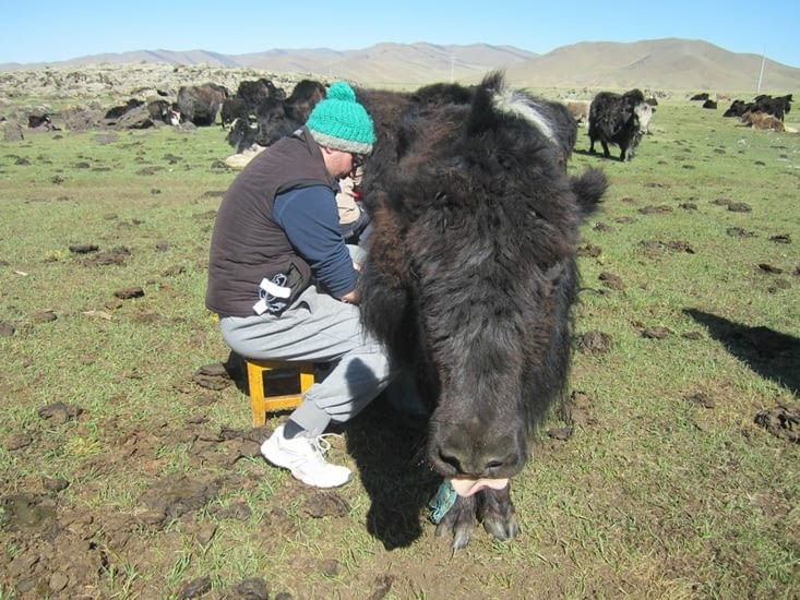 Je m'essaie à la traite des yaks !