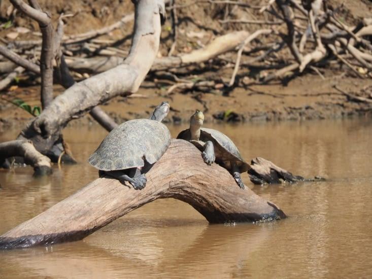 Des tortues profitent du soleil de la pampa bolivienne