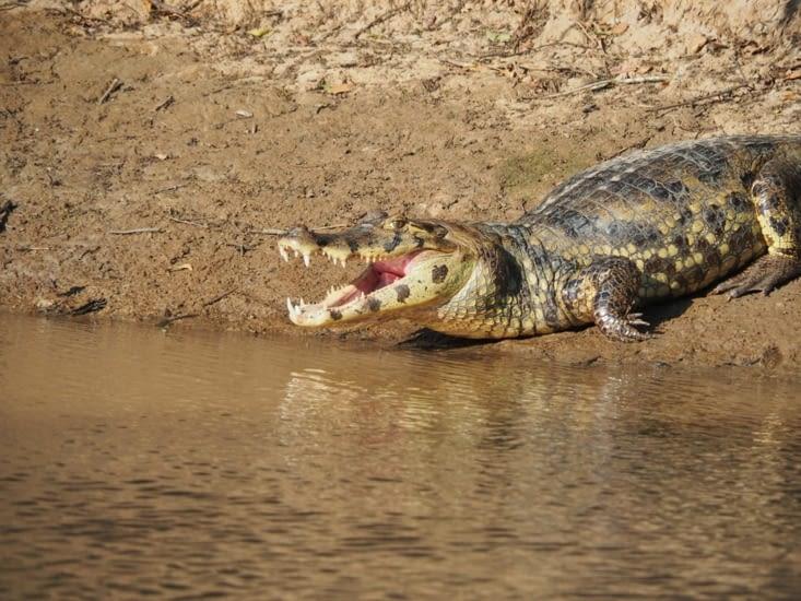 Les caïmans jouent les surveillants de baignade