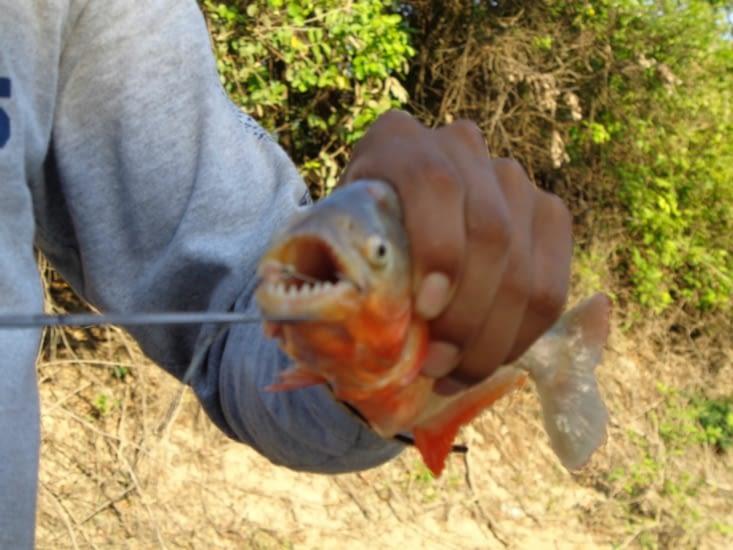 Les fameuses dents du piranha