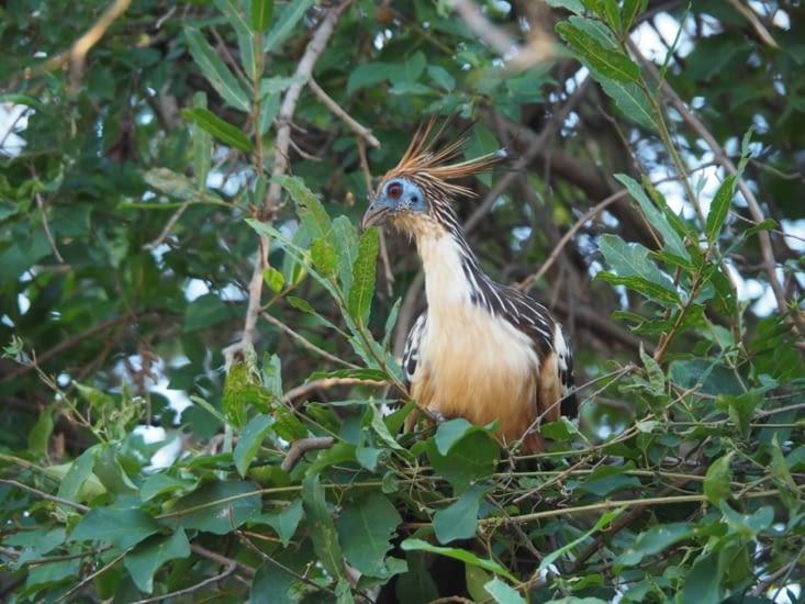 L'Hoazin Huppé, un oiseau préhistorique