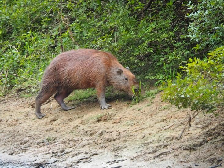 Un capybara