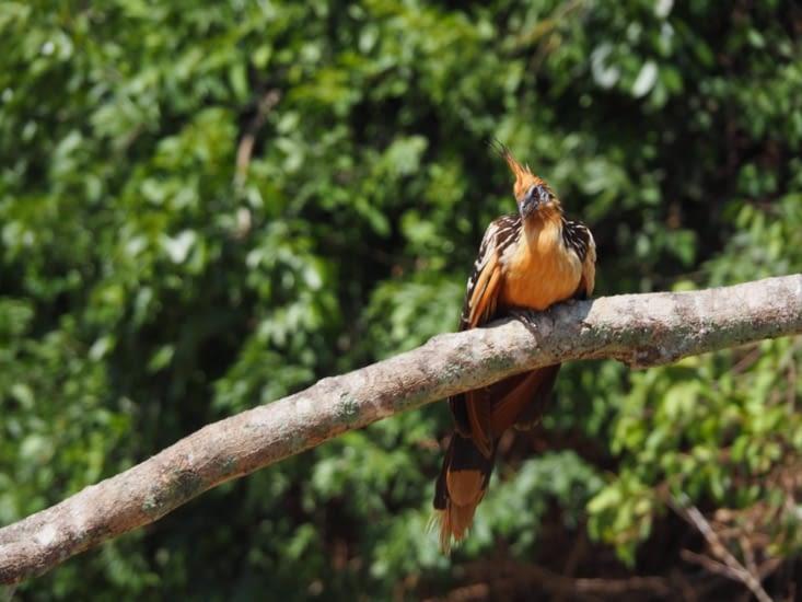 Un Hoazin Huppé sur une branche