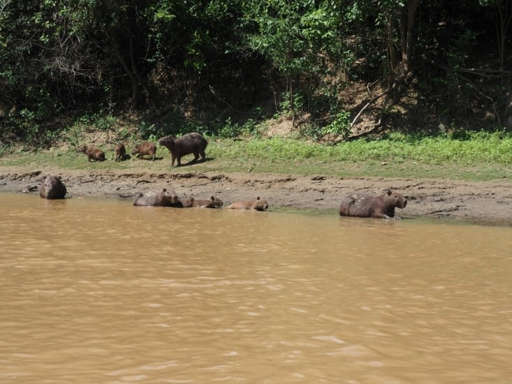 Une famille de capybara profite des rives de la pampa bolivienne