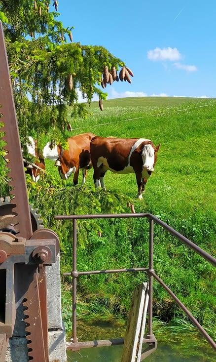 Les belles vaches