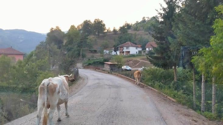 Une route partagée avec les vaches