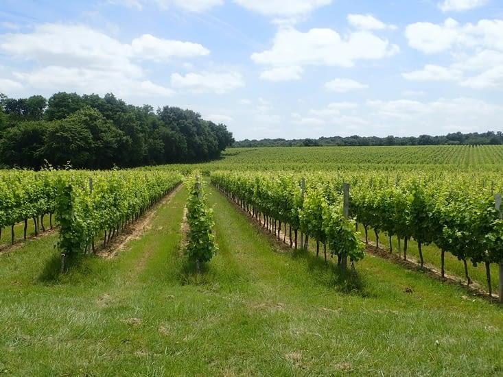 Les vignes, de plus en plus présentes.