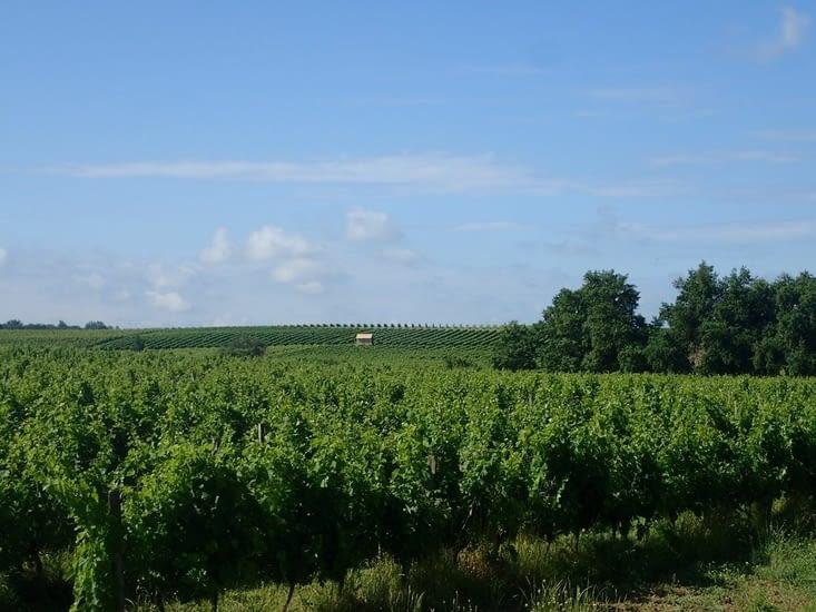 En quittant Sauveterre-de-Guyenne, la vigne est partout.