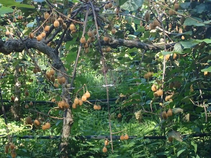 Ei si Ève avait préféré le kiwi à la pomme  ?