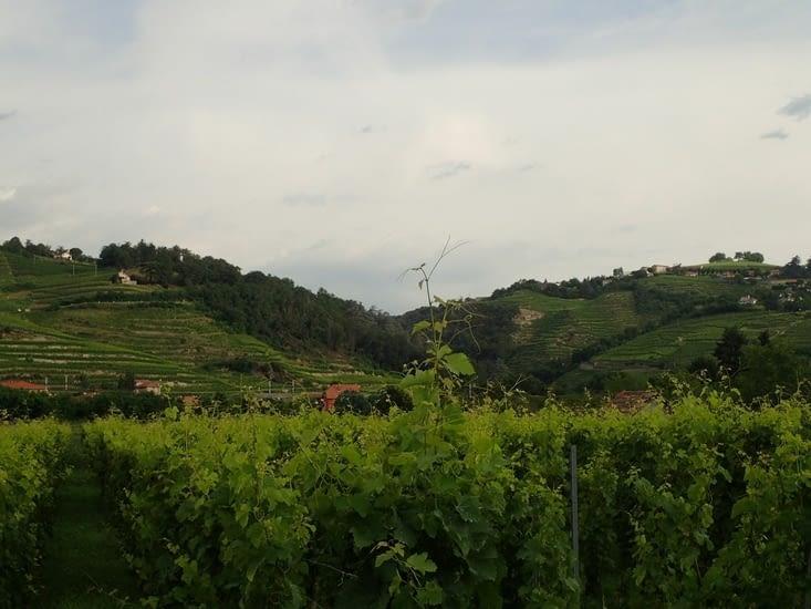 Les vignes à Condrieu.