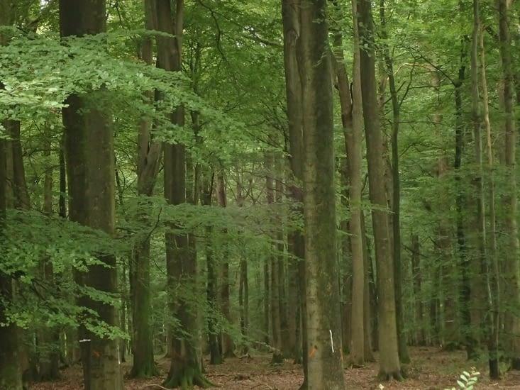 Dans la forêt de Mormal.