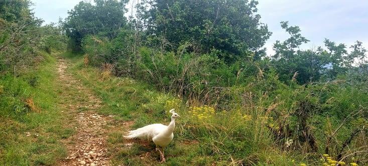 Insolite dans cet endroit, et peu farouche, j'opte pour un paon albinos