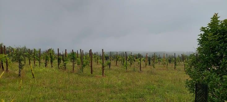Les vignes du Cahors, sous l a pluie