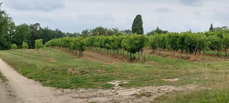 La vigne prend gentiment le dessus sur les tournesols