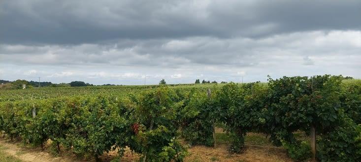 En plein Armagnac, la vigne a fait place aux tournesols...