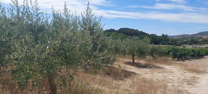 Les premiers oliviers