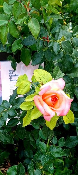 Une rose pour le Camino!  Belle et qui sent bon (elle)...)