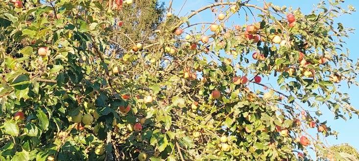 Le jour où nos pommiers auront autant de fruits.,